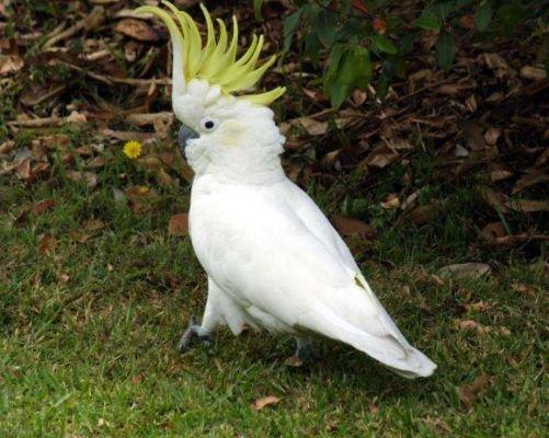 小葵花凤头鹦鹉怎么饲养?